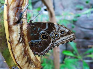 Schmetterling auf Obst