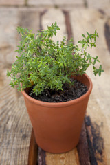 A terracotta pot with a young thyme plant in it.