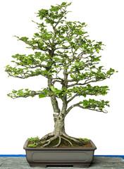 Rotbuche als Bonsai Baum