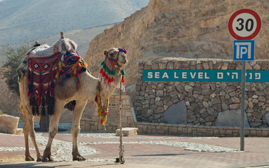 Camel on the sea level