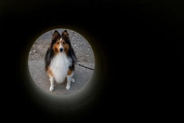 Collie Blick durch Betonröhre