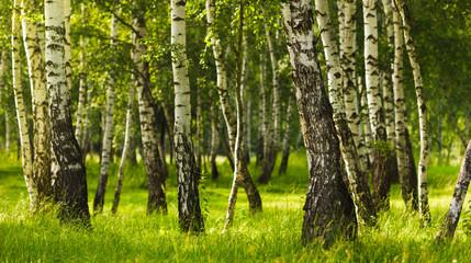 Birch forest while summer season