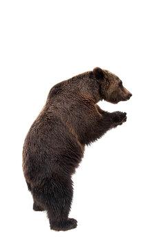 Brown bear, Ursus arctos