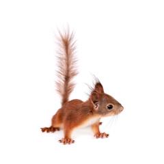 Fotobehang Eekhoorn Eurasian red Squirrel, Sciurus Vulgaris on white