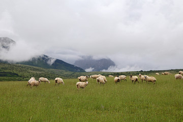 Flock of Sheep Under The Weather