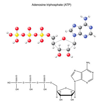 Structural chemical formula and model of adenosine diphosphate