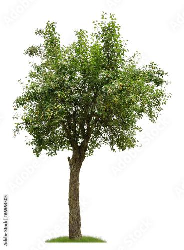 alter birnbaum mit fr chten als freisteller stockfotos und lizenzfreie bilder auf. Black Bedroom Furniture Sets. Home Design Ideas