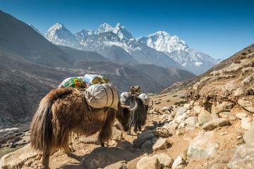 Fototapeta Yaks in Himalayas - Nepal obraz