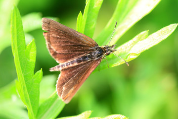 The Silver-lined Skipper (Leptalina unicolor) in Japan