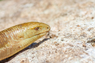 Portrait of a snake on stone background. Pseudopus apodus