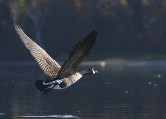 Goose Flying into the Shadows