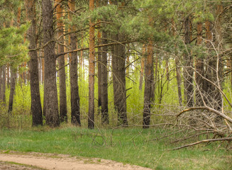 Spring Pine Forest