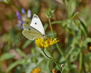 butterfly pollinating a yellow wild daisy flower