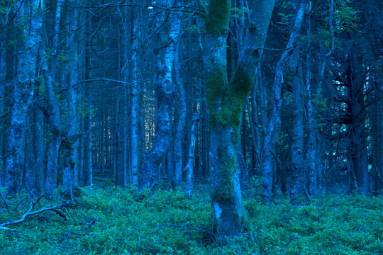 blue forest at dawn in nature area Eifel, Germany