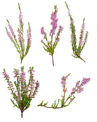 set of five pink blossoming heather branches