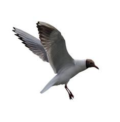 isolated flying black-headed gul