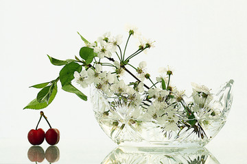 cherries on a white background with branches