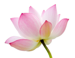 Wall Murals Lotus flower isolated lotus