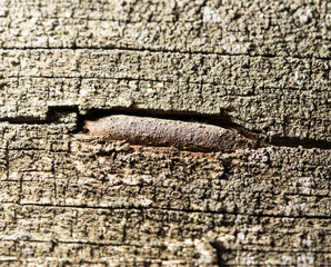 old rusty nail in the piece of wood. macro
