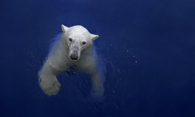 Swimming polar bear, white bear in water