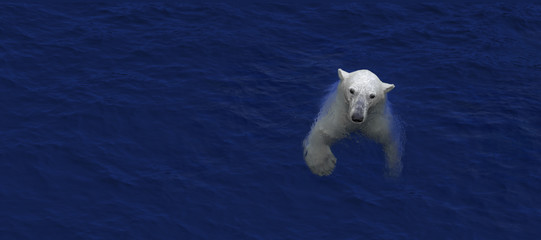 Swimming polar bear, white bear in water