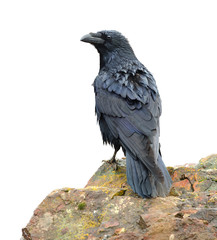 Raven perching on a rock