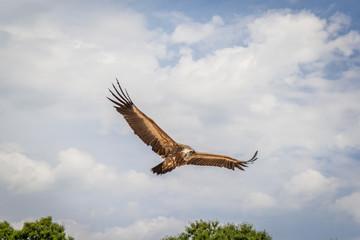 Le vol des vautours du Bal des Oiseaux Fantômes du Puy du Fou