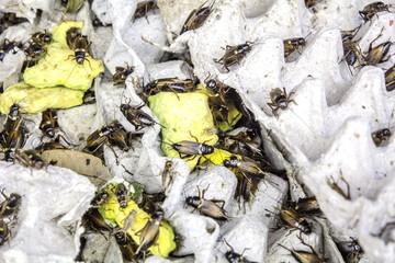 Cricket : Gryllidae