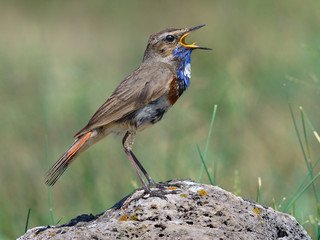 Male bluethroat singing