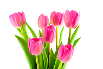 bouquet of pink tulips isolated