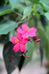 Asian Flower is pink