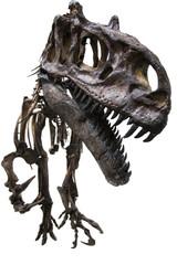 Scheletro fossile di Allosauro