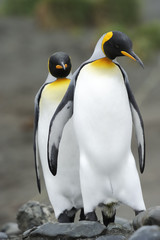 Two King Penguin  walking behind each other