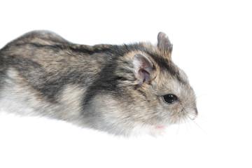 Djungarian hamster isolated on white