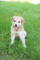 Little cute Golden Retriever puppy, outdoors