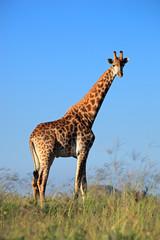 A large giraffe bull against a blue sky