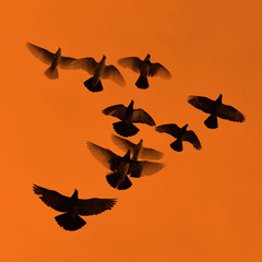 Pigeons on the background of sky with sunset.