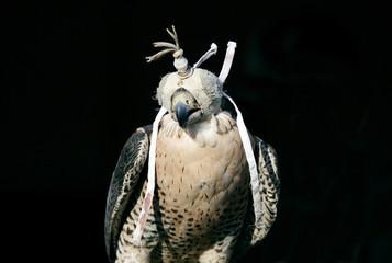 Beautiful falcon wearing hood