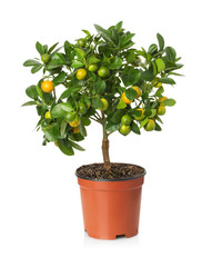 tangerine tree in the pot on the white background
