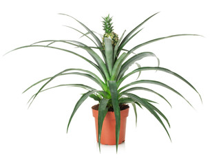 pineapple tree in the pot isolated on the white background
