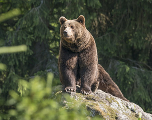 Fototapete - brown bear male