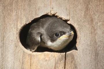 Fotoväggar - Baby Tree Swallow