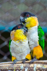 Couple of parrots on a branch in love