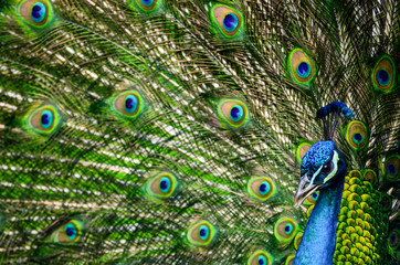 Portrait of beautiful peacock with colorful feathers