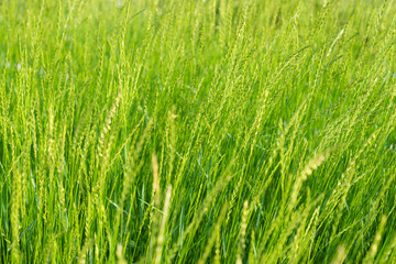 Fresh green grass background. Selective focus.