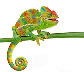 Wall Mural - Chamaeleo calyptratus, female, isolated on a white background
