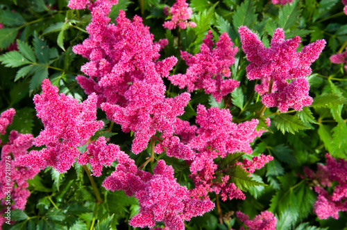 pink astilbe false spirea copy space horizontal. Black Bedroom Furniture Sets. Home Design Ideas