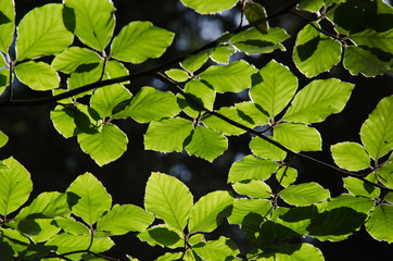 Backlit beech leves in forest