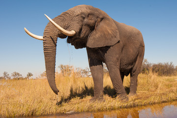 Wall Mural - Elephant