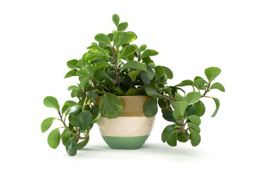 Isolated green plant in flowerpot.
